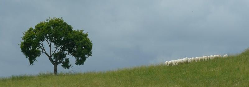 pecore al pascolo